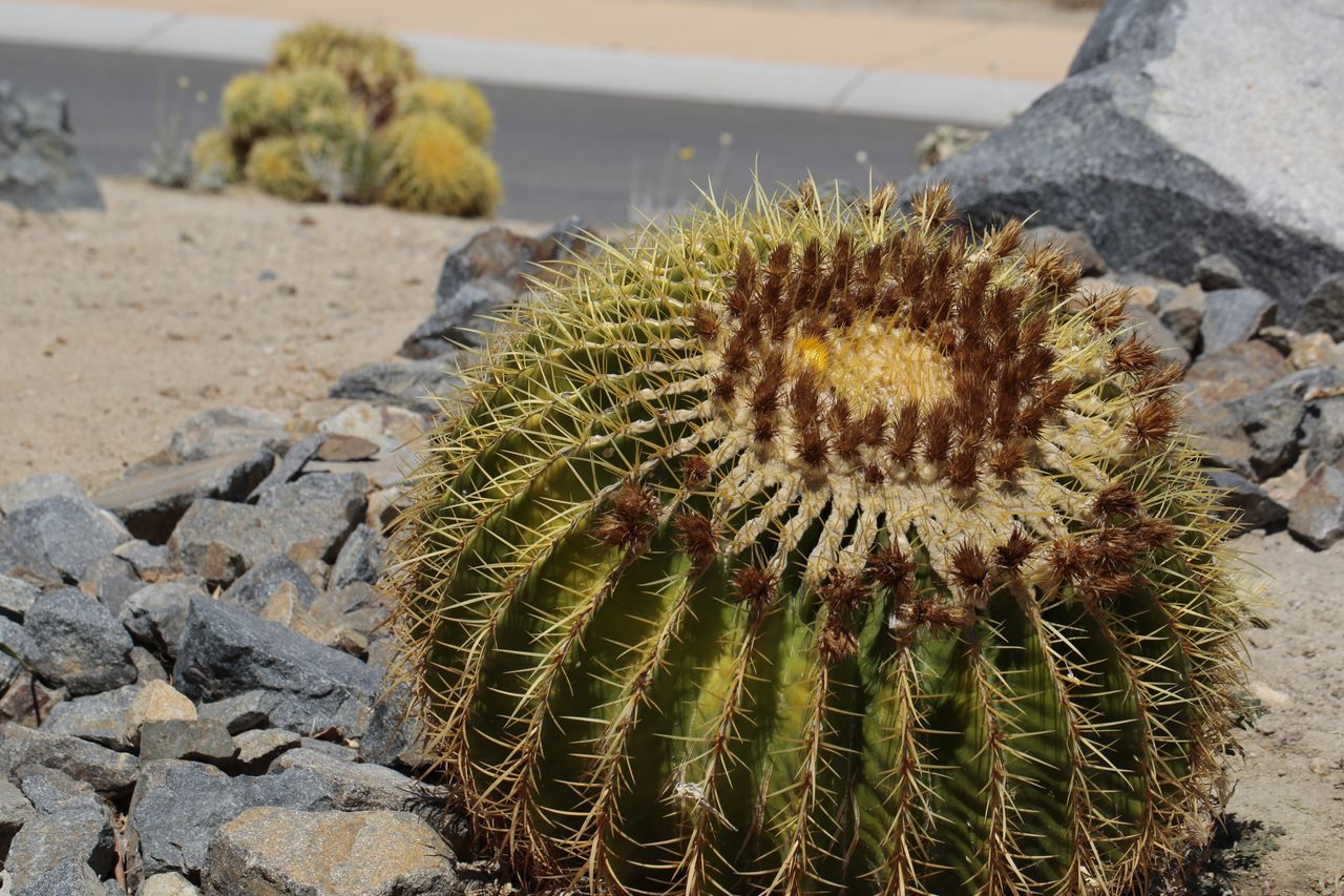 Palm Desert in bloom. Budding Flower Plant Flower Flowers Plantlife JGLowe Desert Desert Beauty Desert Life Deserts Around The World Cactus Flower Cactusporn Cactus Garden Barrel Cactus Flower