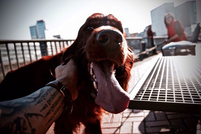 || Happiness to share Red Dog Animal Head  Smile Animal Photography EyeEm Best Shots Selective Focus One Animal Focus Tattoo Tounge Out  Focus On Foreground Close-up Pet Snapshots Of Life Animal Themes Moment Capture The Moment Düsseldorf Medienhafen 2016 New Talent