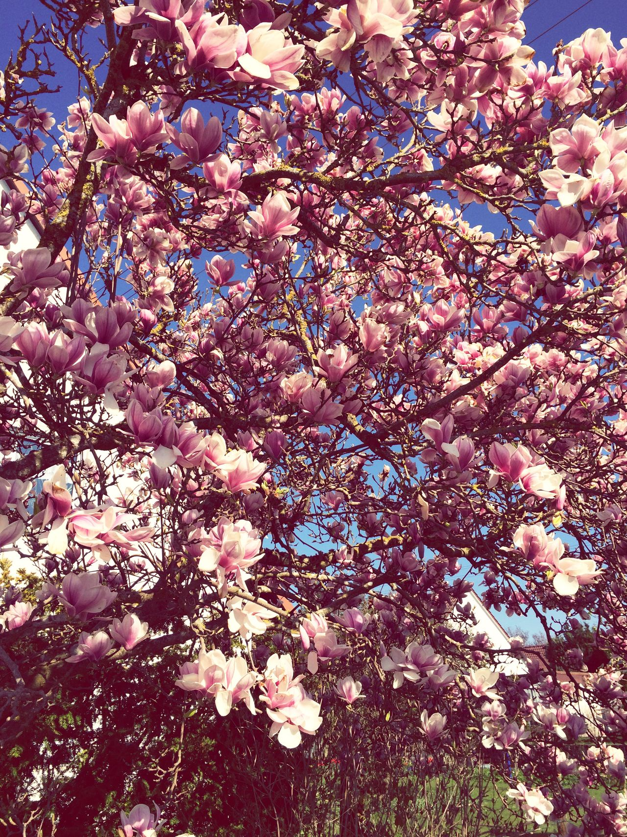 Beautiful stock photos of magnolia, Abundance, Auto Post Production Filter, Beauty In Nature, Blossom