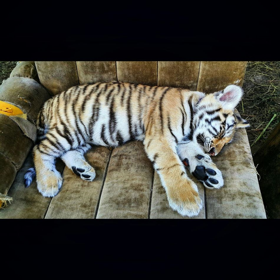 Tiger Paws Tiger Baby Little Tiger Paws Africa Adventure The Adventure Handbook Say Hello Sleeping Resting