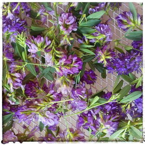Alfalfa Things I Saw Today Dried Flowers Herbal Pleasures