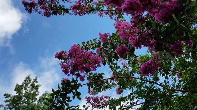 Taking Photos Summer Colorful Essence Of Summer Crepe Myrtle Blue Sky Summer In Georgia