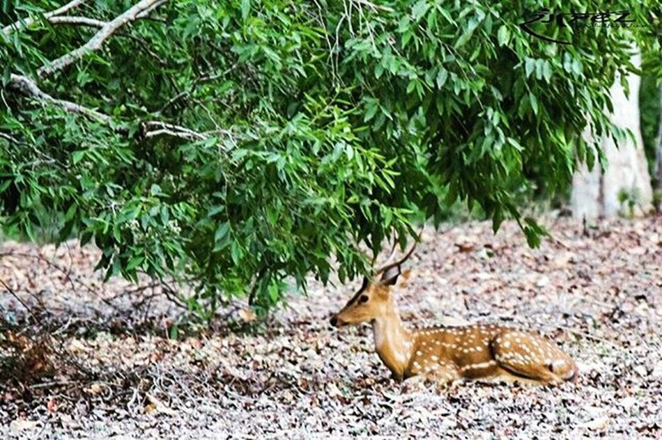 Hey it's too hot out there... Shelter Spotdeer Rangrezphotography Nikon5300d Nikonphotography Iamnikon Mpforests Jungle 46degrees Naturelovers
