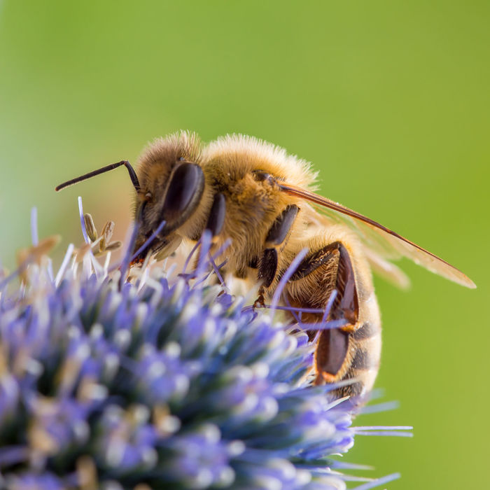 A honey bee works on a flower. Apiary #Bees #closeup #macro #MacroShot #Nature  #olympus Animals In The Wild Bee Bees Botany Close-up Flower Honey Bee Insect Macro Macro Photography Micro Four Thirds Natural Beauty Nature No People One Animal Pollination Wildlife Zoology