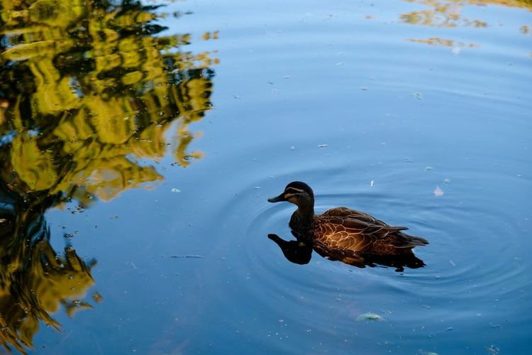 Water- reflection-duck Animal Themes Animals In The Wild One Animal Bird Water Nature Day No People Animal Wildlife Outdoors Swimming
