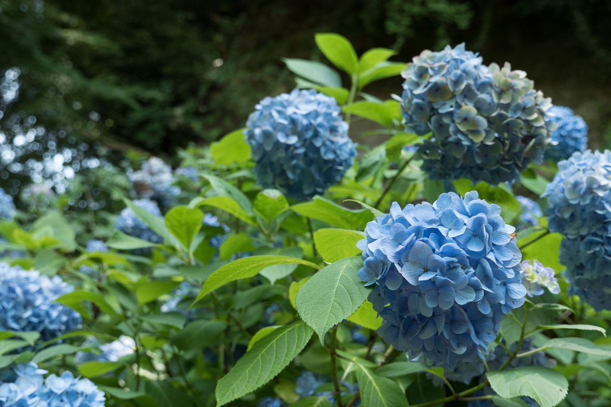 Beauty In Nature Blooming Close-up Flower Flower Head Fragility Freshness Green Color Hydrangea Hydrangea Flower Hydrangea In Bloom Hydrangeas In Bloom Leaf Nature No People Plant Showcase June