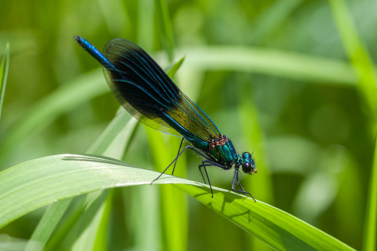 banded demoiselle Calopterygida Calopterygidae Banded Demoiselle Beauty In Nature, Calopteryx Splendens Gebänderte Prachtlibelle Insect Insect Photography Insects  Insekten Libellen Nature Nature Photography Odonata Prachtlibellen Wild Wildlife Wildlife & Nature Wildlife Photography Zygoptera