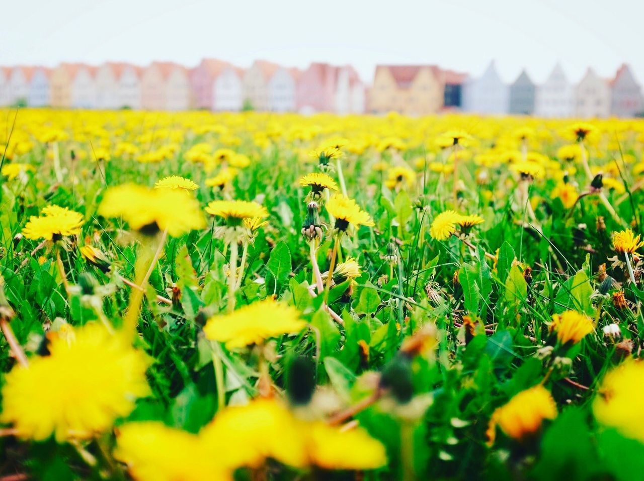 Field Green Color Flower Yellow Landscape No People Low Angle View Nature Beauty In Nature