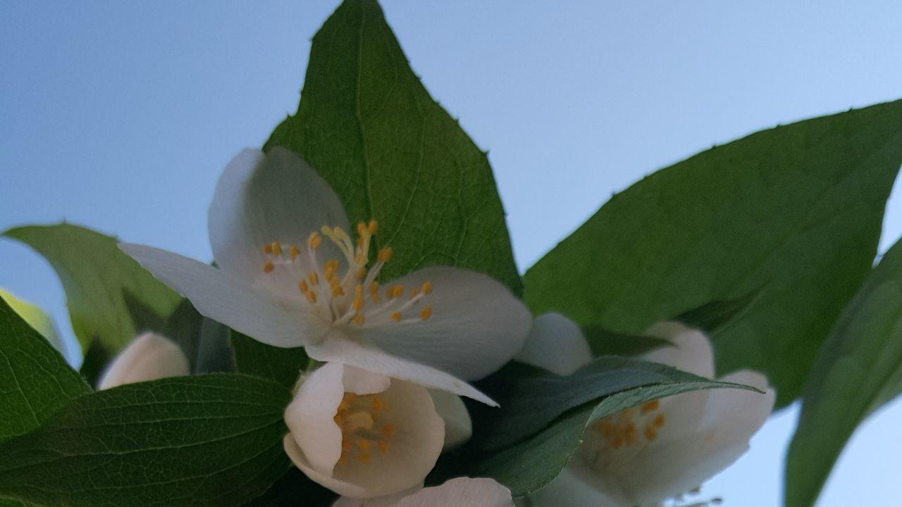 Macro Beauty Jasmine Flower Balancing Elements Nofilternoedit Samsung Galaxy S6 Edge Nofilter