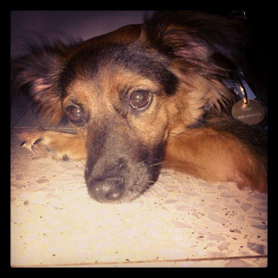 #resting #dog #cute Dog Resting Cute Ayeletsh
