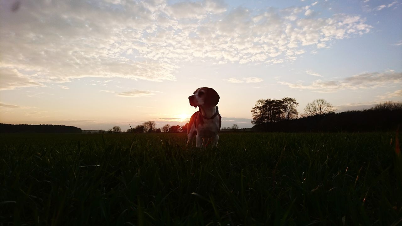 Sunset Nature Sky Outdoors Beauty Grass Silhouette Beagle Beaglelove Beaglelife Beaglemom Beagleworld Cocothebeagle Photography Petstagram Pets Of Eyeem EyeEm Nature Lover EyeEmNewHere Bestdog🐶❤️ Bestbeagle