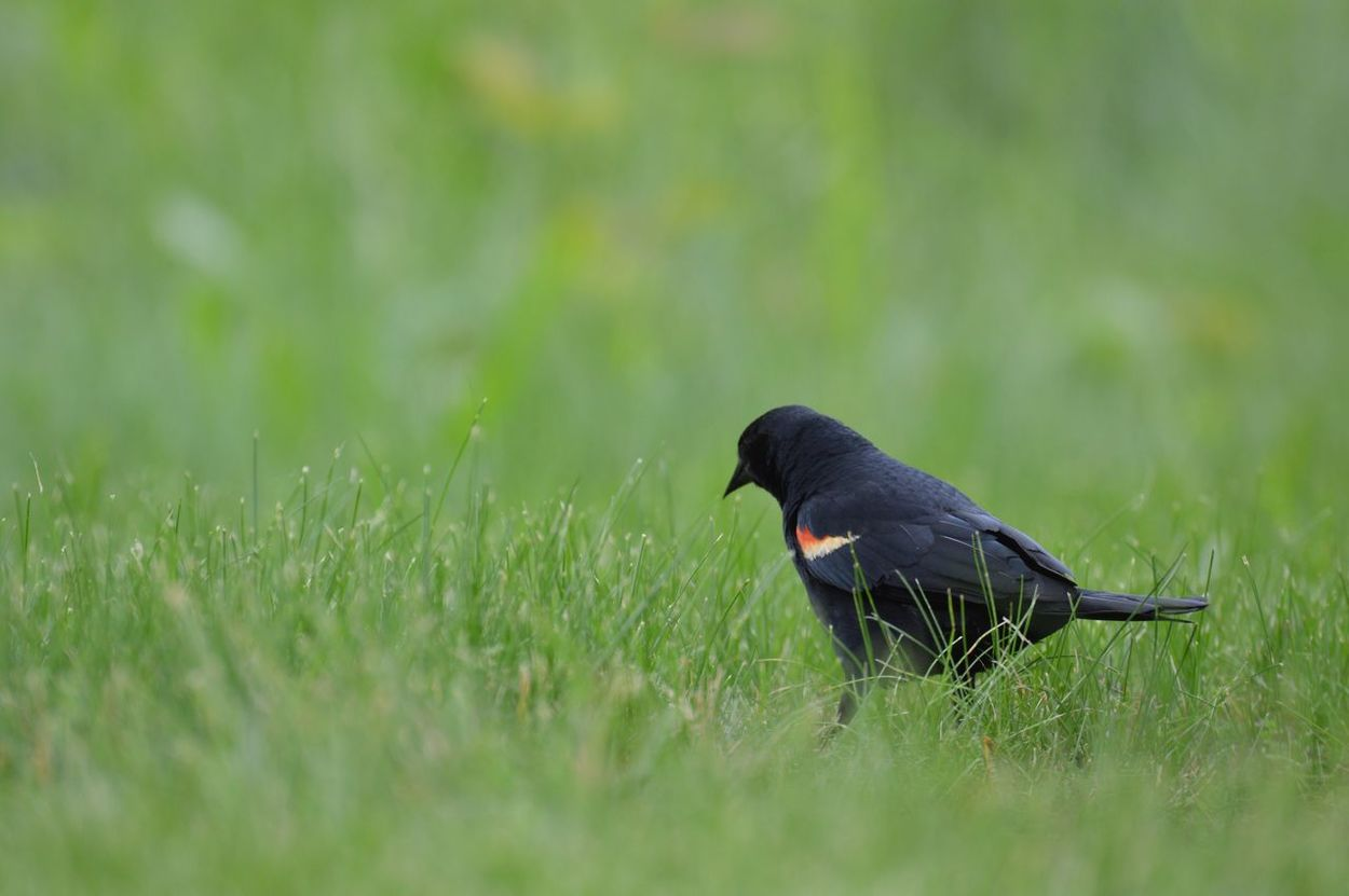 Redwing Blackbird at the pond Hanover Parkway