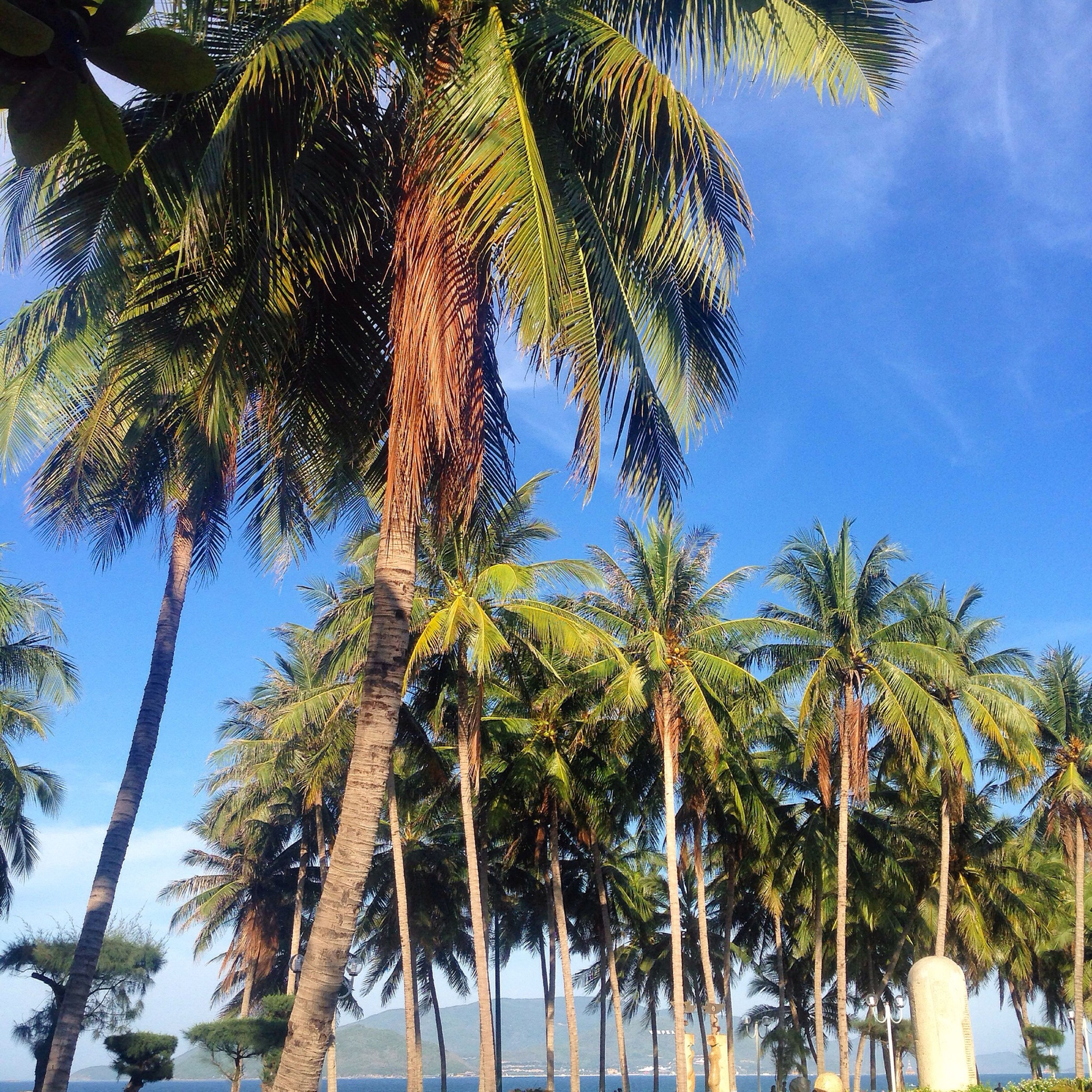 tree, palm tree, low angle view, growth, tranquility, sky, nature, tree trunk, beauty in nature, tranquil scene, scenics, blue, branch, coconut palm tree, day, outdoors, green color, no people, tall - high, leaf