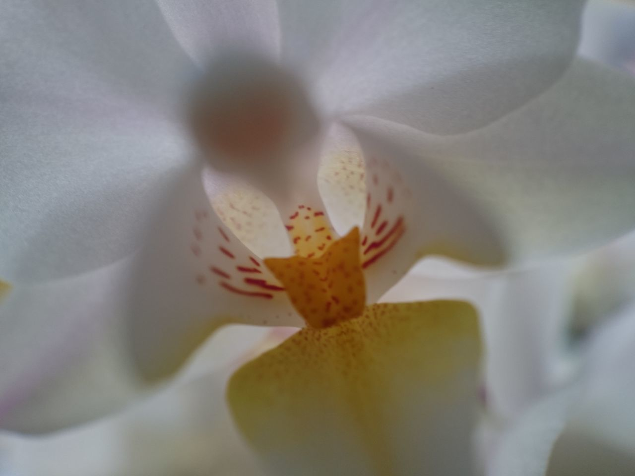 Flower Freshness Beauty In Nature White Color Xperia Z3 Compact Purity Purist No Edit No Filter 2016 Picture Orchid Macro_flower Macroshot White Flower White Background