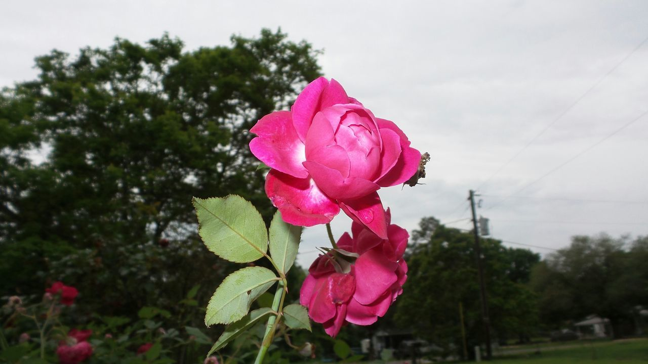 Close-Up View Of Rose