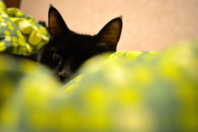 Peeking Animal Animal Eye Animal Head  Black Color Cat Close-up Domestic Animals Domestic Cat Green Peeking Pets Selective Focus Staring