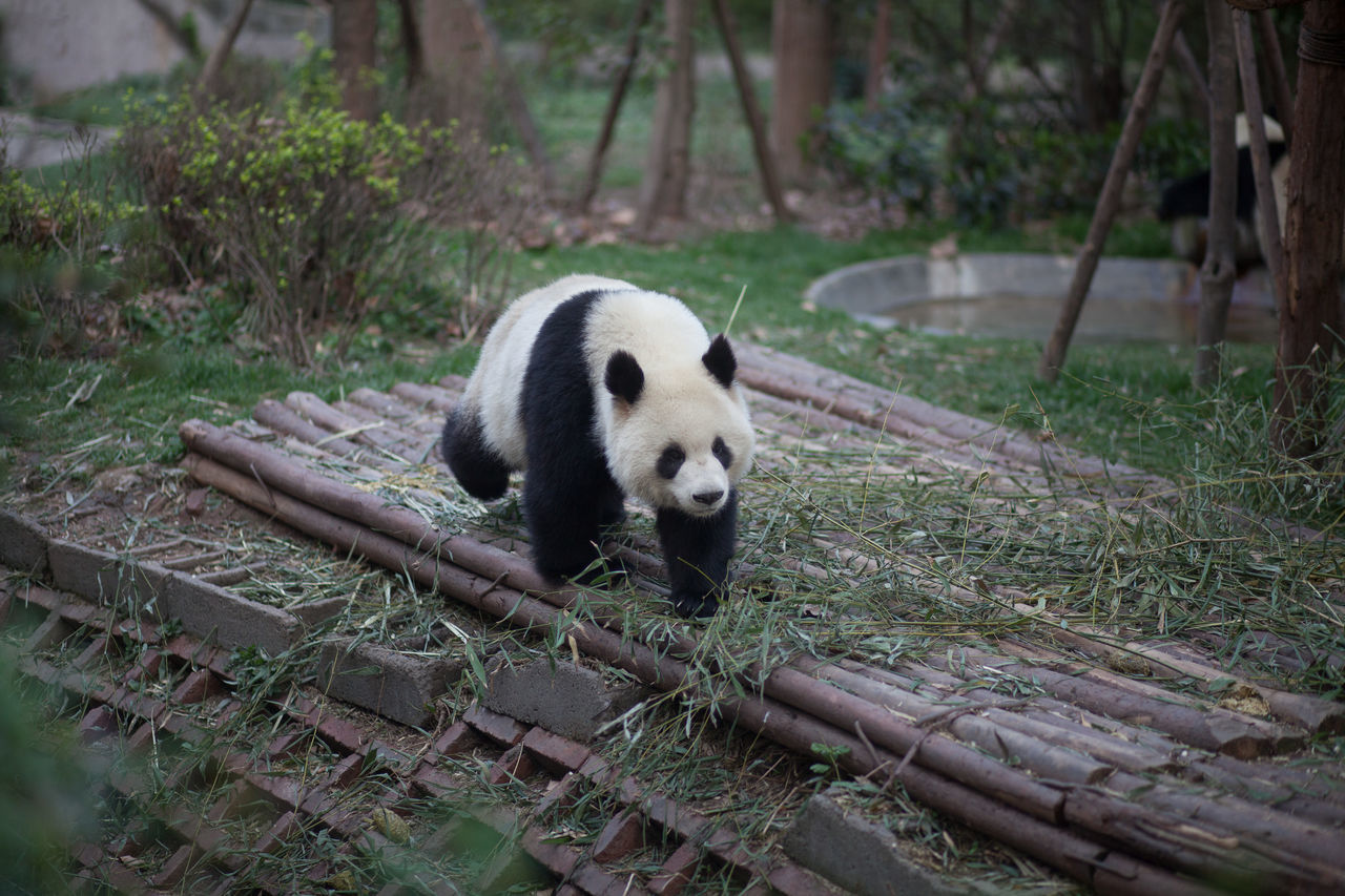 Beautiful stock photos of panda, Animal Themes, Animals In The Wild, Front View, No People