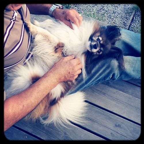 Adorable picture of my dog. Papillon Cute Dog Removing Ticks