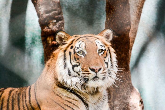 Tiger Tigers Tiger-love Tiger Love Tigereyes Tiger Face Cat Catsofinstagram Cat Lovers Catoftheday