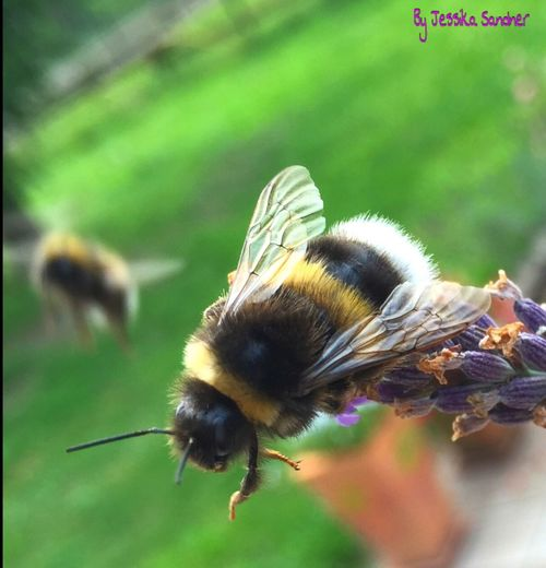 Hummel Bumblebee Insects  Insect Insect Photography Insect_perfection Insect Paparazzi Macro Insects Insekten Flowers And Insects