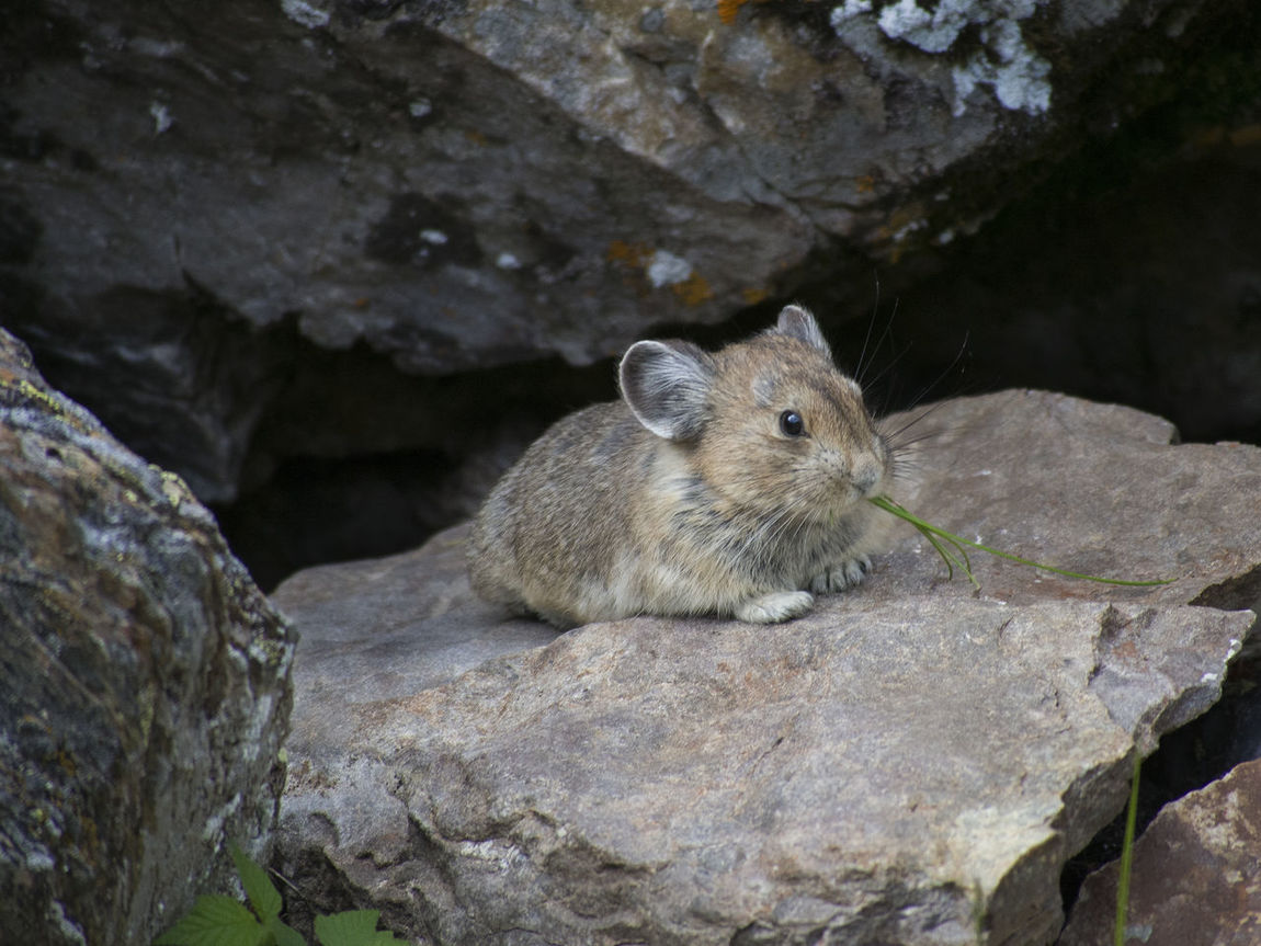 Pika eating grass Animal Animals In The Wild Close-up Eating Grass Mammal Pika Rodent Wildlife