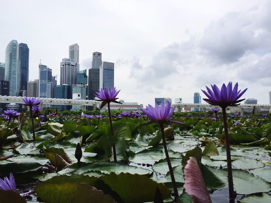Waterlilies Flower Purple Nature Beauty In Nature Freshness Fragility Building Exterior Growth Architecture Petal City Built Structure Sky Skyscraper Blooming Flower Head No People Plant Outdoors Pink Color Singapore City Marina Bay Sands