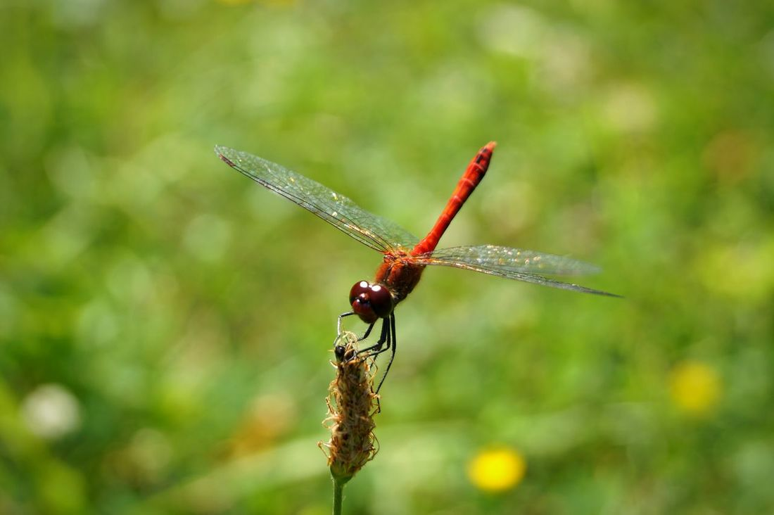 Dragonfly Insect Insect Photography Insect Macro  Insect Photo Owad Ważka Red Dragonfly Czerwona Ważka Nature