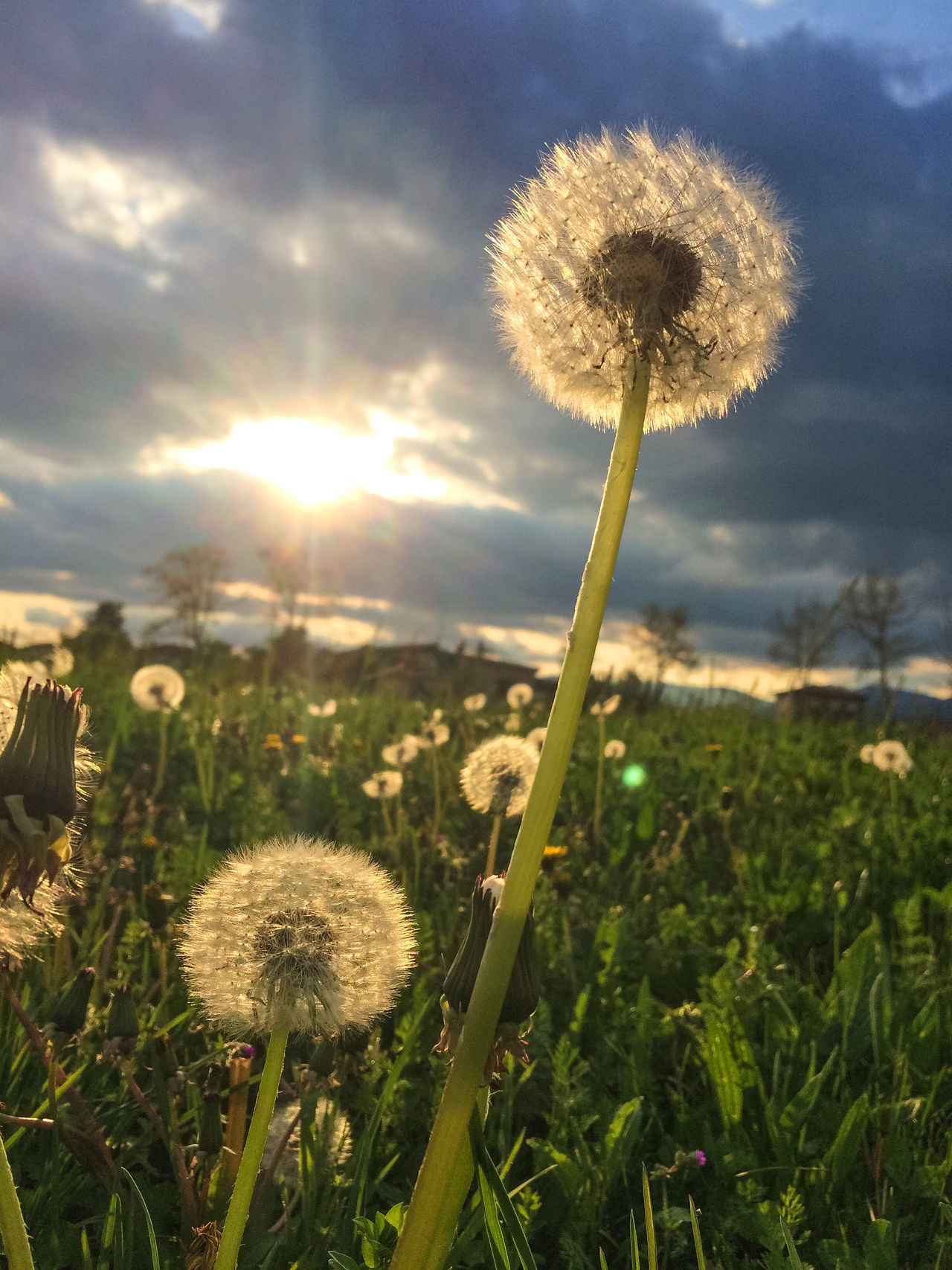 Dandelion flower on sunset Beauty In Nature Blooming Close-up Dandelion Field Flower Flower Head Fragility Freshness Growth In Bloom Nature Plant Sky Softness Sunlight Uncultivated Wildflower