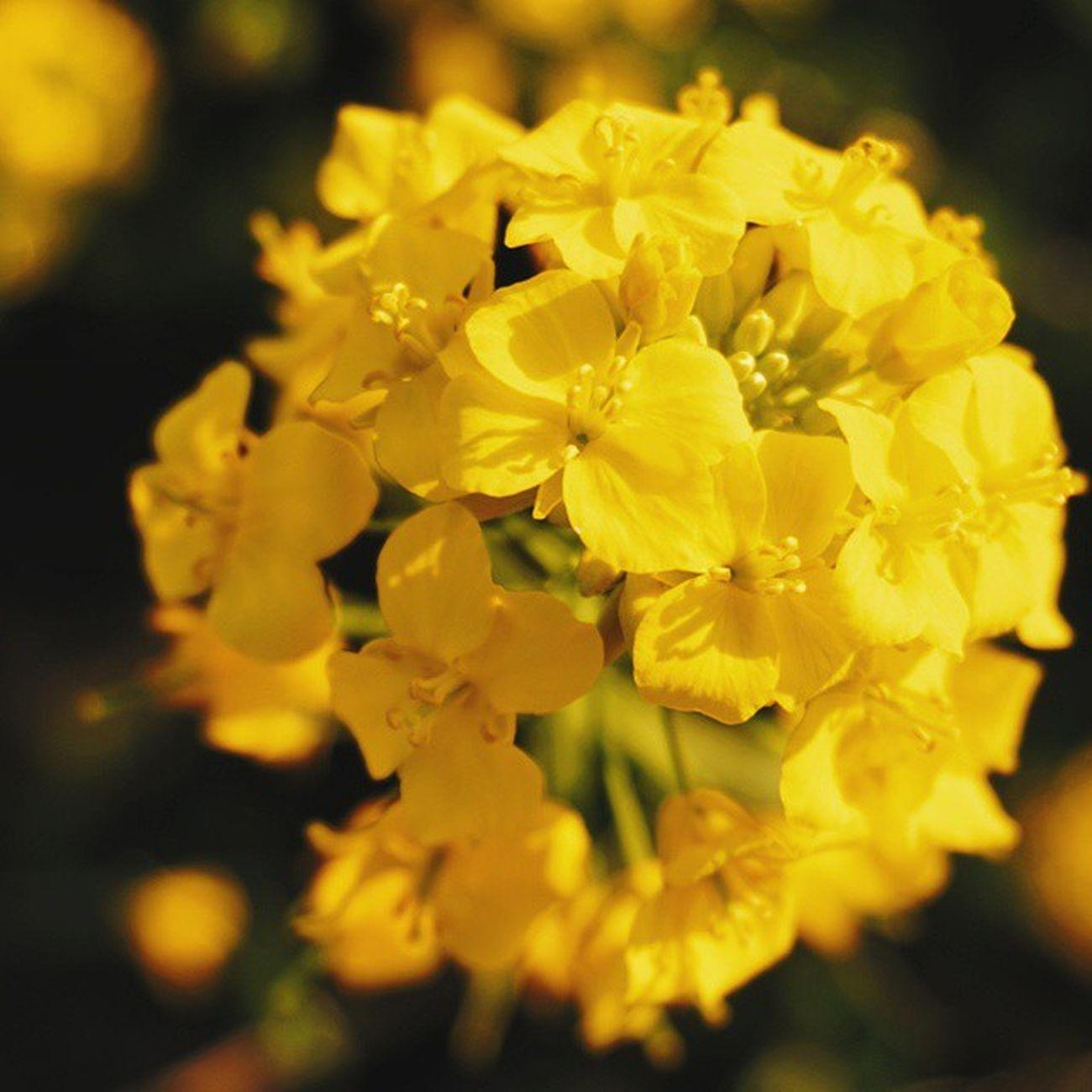 😆💞 Vscocam Springhascome Nature Flower 菜の花