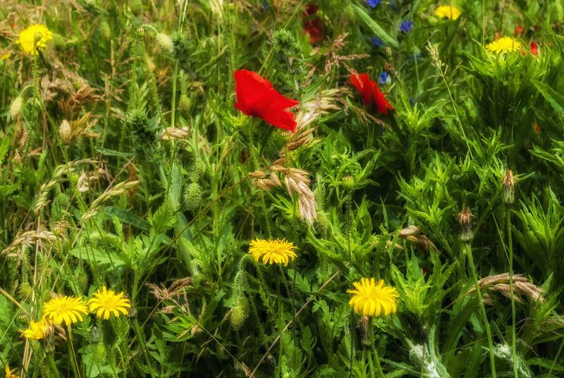 Poppies and dandelions. Poppies  Nikon Nikond3000 Summer Nature On Your Doorstep Flowers Flowers :) England Southsea Flowers, Nature And Beauty Flowers 🌸🌸🌸 Flower Collection Flowers In Bloom Dandelion Collection Dandelions