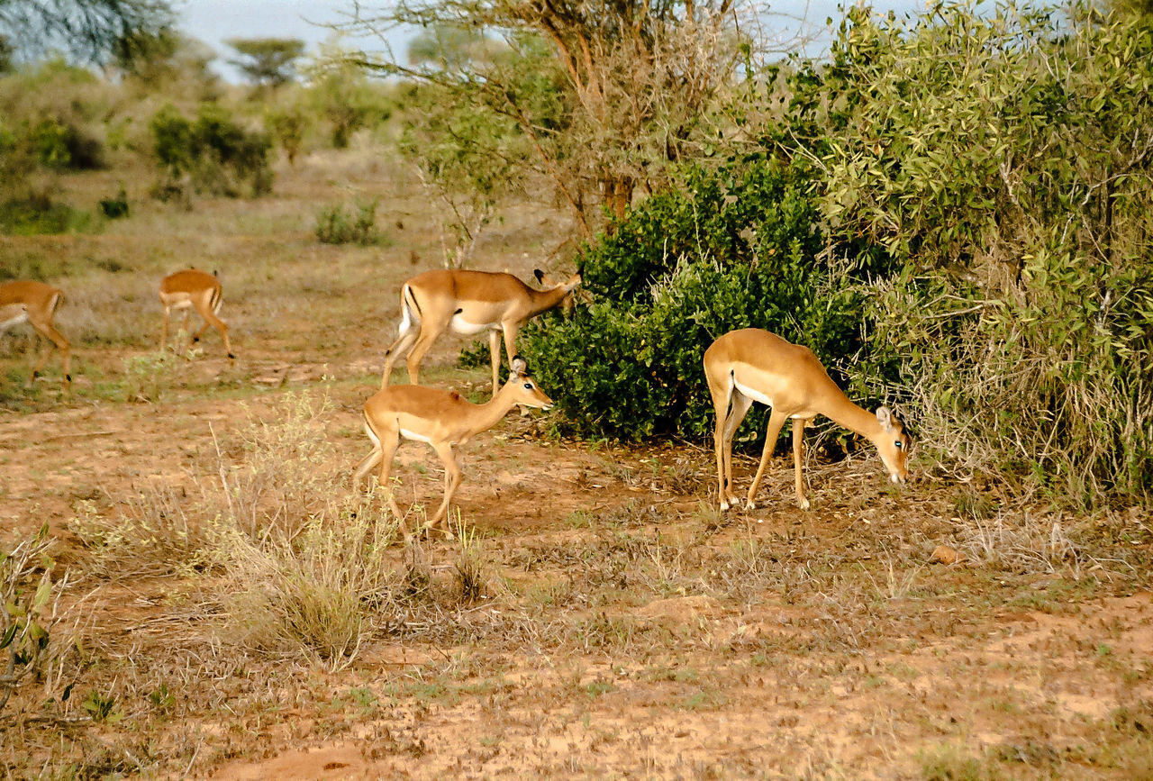Africa Animal Themes Animal Wildlife Animals In The Wild Beauty In Nature Day Gazelle Grass Mammal Nature No People Outdoors Safari Tree Young Animal