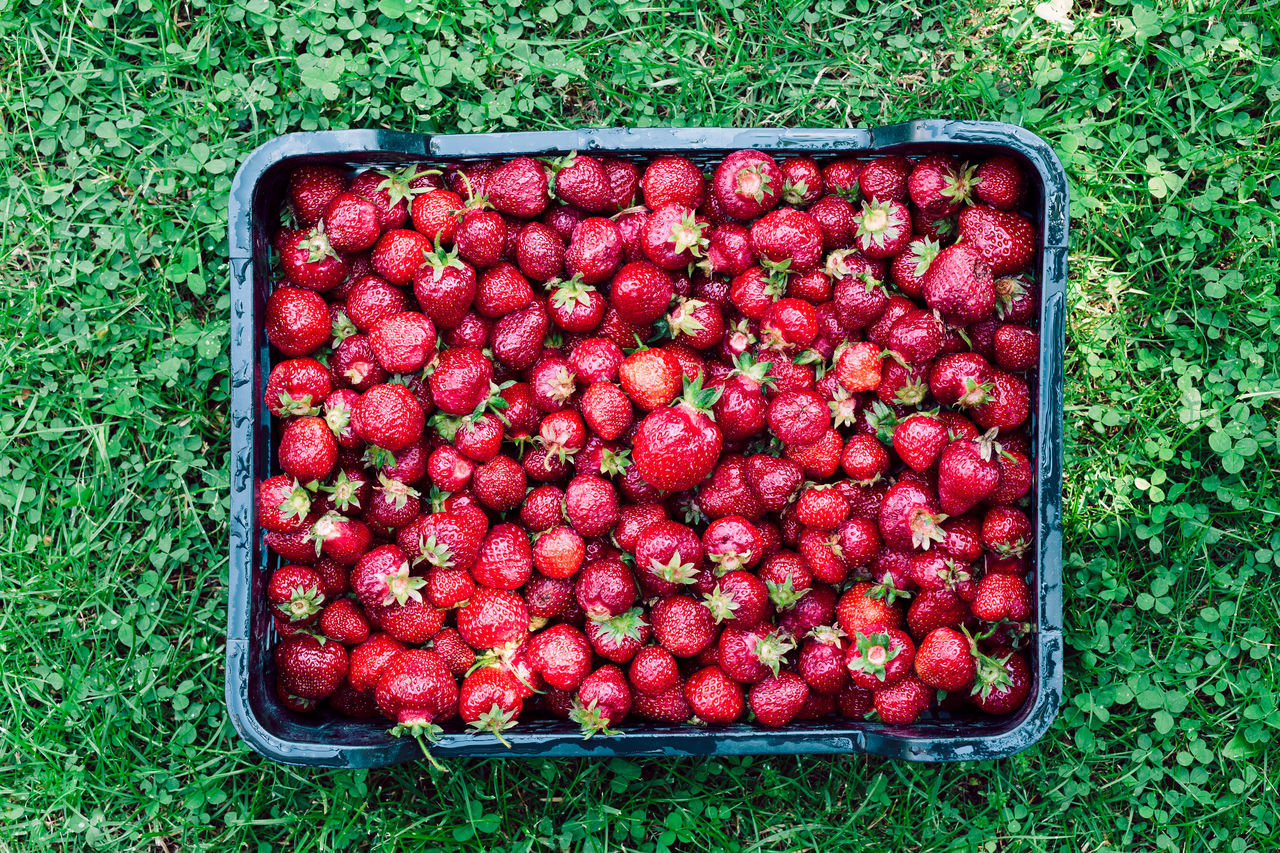 Overhead shot of freshly picked strawberries in a box Berry Child Childhood Family Farm Food Fresh Fruit Garden Girl Green Harvest Healthy Juicy Natural Nature Organic People Picking Raw Season  Sibilings Strawberries Summer Sweet