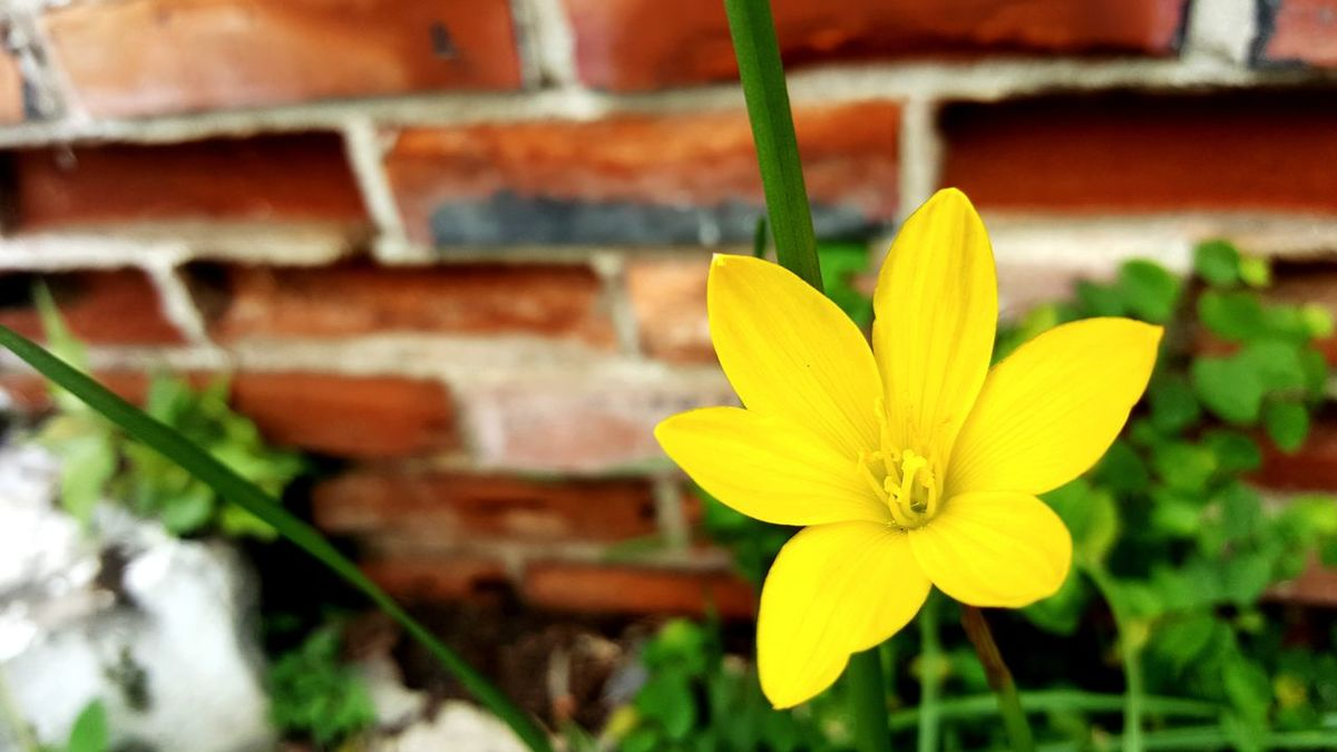 Amaryllidaceae Family Flower Fragility Petal Flower Head Nature Freshness Yellow Plant Botany Beauty In Nature Growth Springtime Focus On Foreground Blossom Outdoors Close-up Day No People Zephyranthes Grandiflora Pink Flower 🌸 Red Flowers Paint The Town Yellow