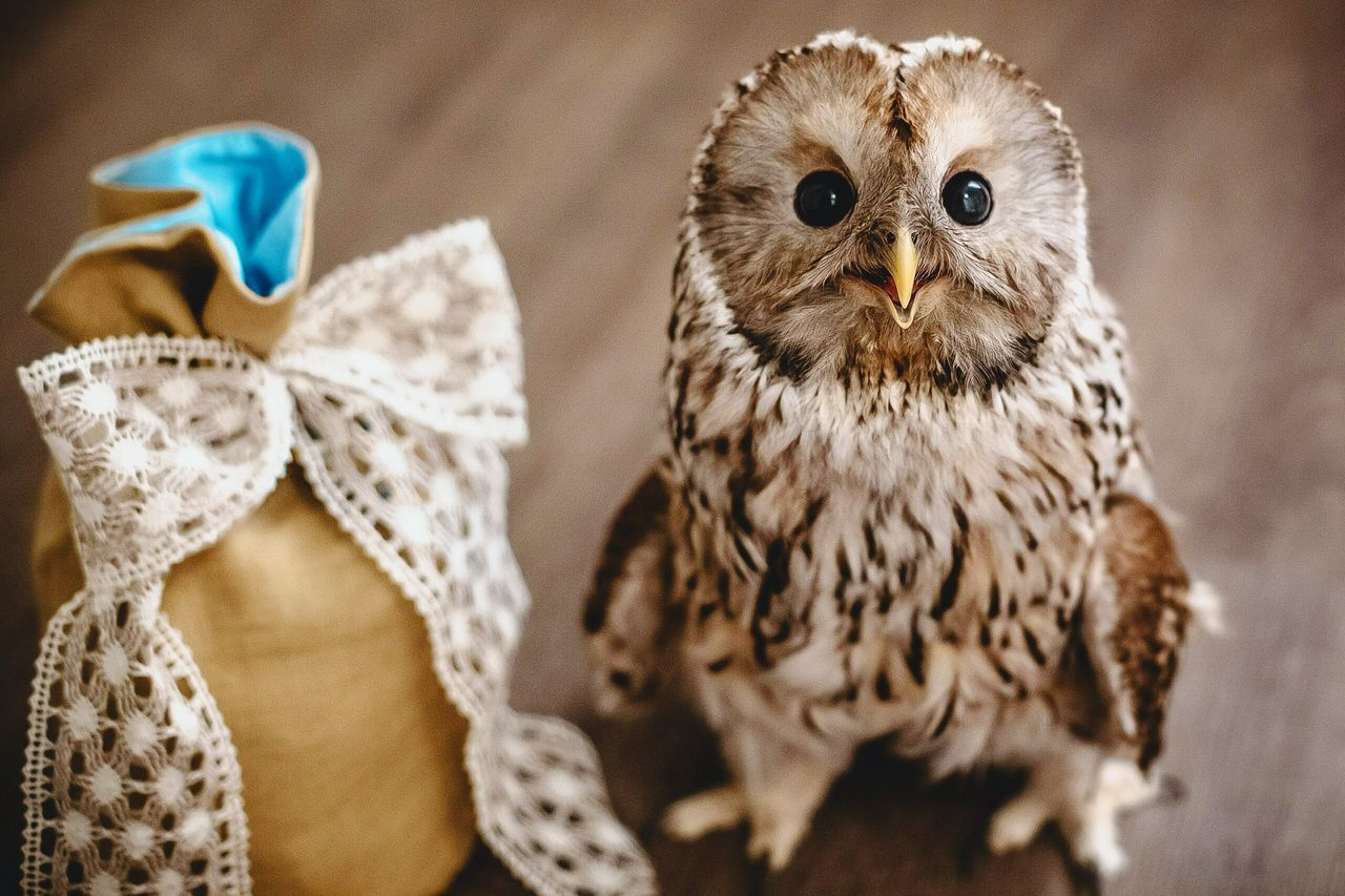bird, close-up, no people, focus on foreground, animal themes, owl, indoors, day