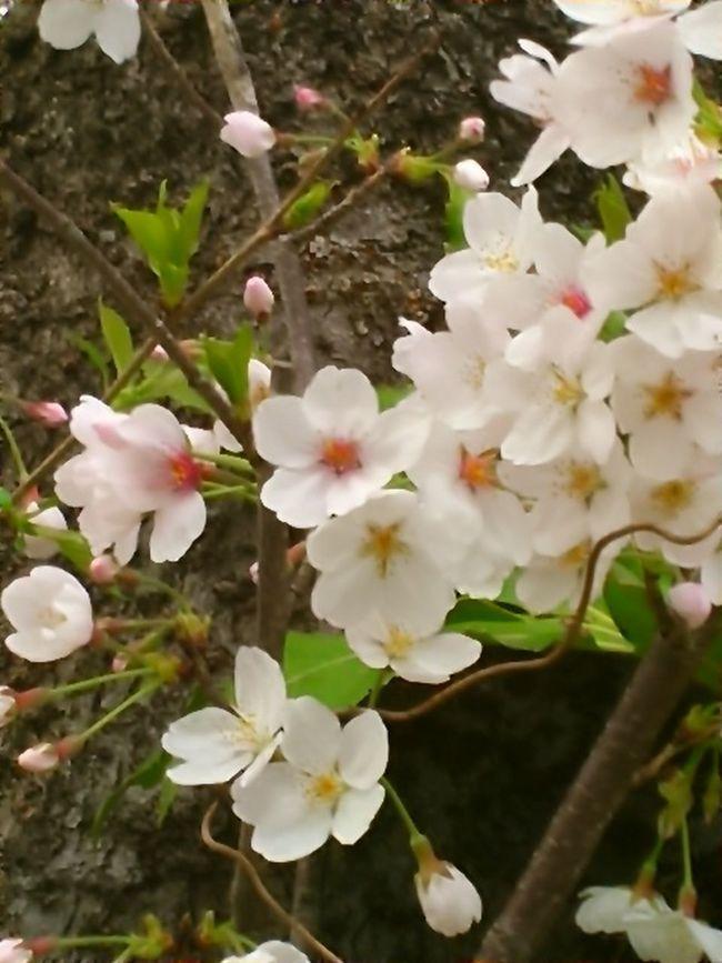 Japanese Spring Blossom Cherry Tree Flower Beautiful View Cherry Tree Cherry Blossoms Cherry Blossom Leaf Beautiful Day Cherry Blossom Viewing