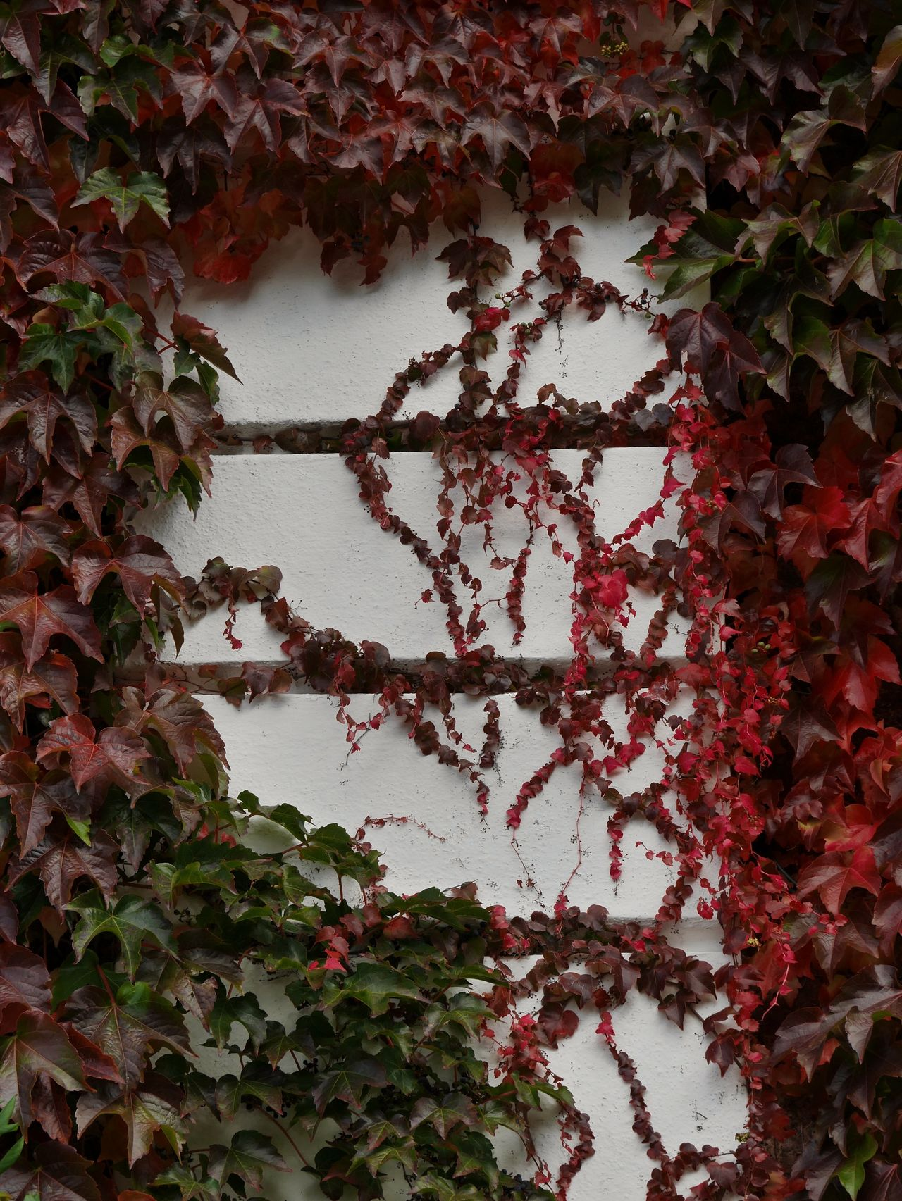 Creaper Leaves🌿 Wall Covered With Creeper