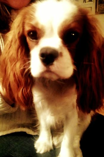 charles dog Being Creative Residential District My Big Brothers And His Familys Beautiful King Charles Spsniel King Charles Cavalier Dog