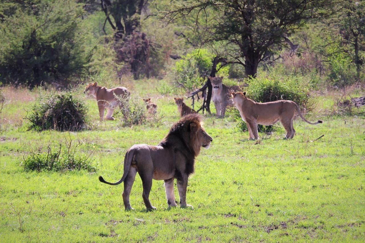 Serengeti Animal Animal Themes Animal Wildlife Animals In The Wild Day Domestic Animals Field Grass Lion Löwenzahn Mammal Nature No People Outdoors Serengeti National Park Togetherness Tree