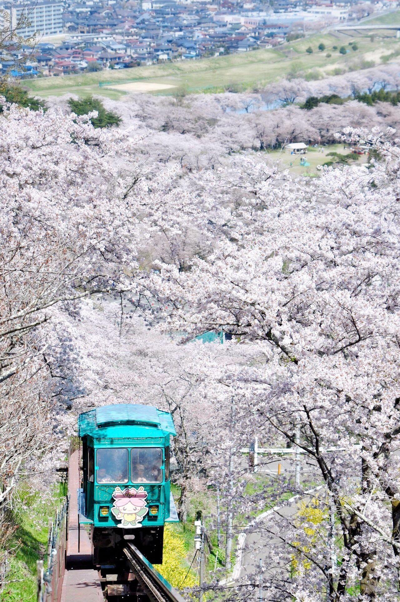 Monorail running through sakura trees Monorail  Monorail Train View Sakura Sakura Blossom Sakura Trees Cherry Blossoms Cherry Blossom Spring Spring Flowers Spring Has Arrived Japan Japan Photography Spring In Japan Tohoku Funaoka Neighborhood Map Miyagi