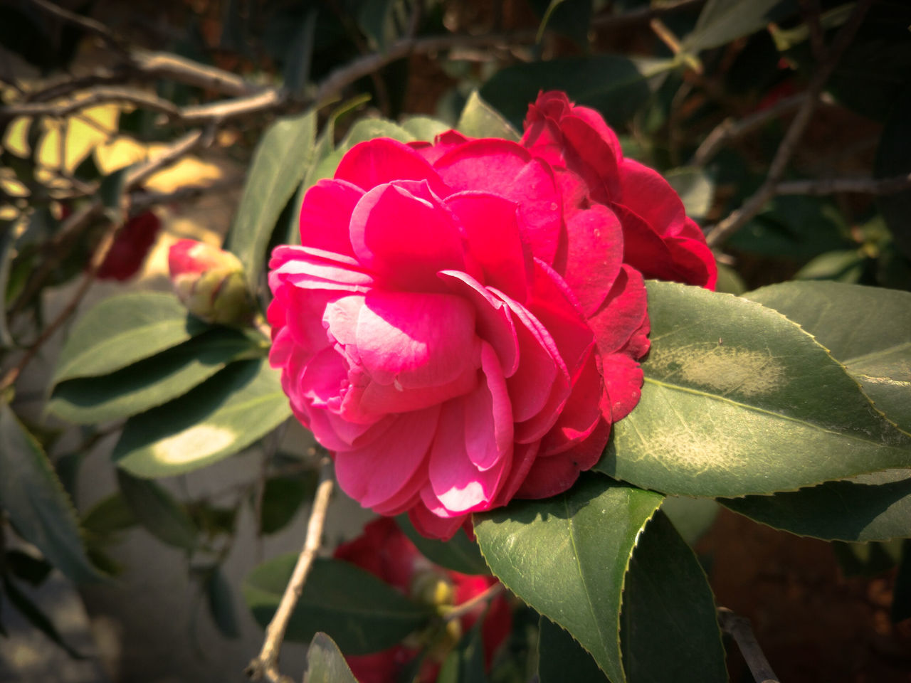 Flower Fragility Nature Petal Rose - Flower Beauty In Nature Plant Freshness Red Outdoors No People MIphotography Goodmorning :)