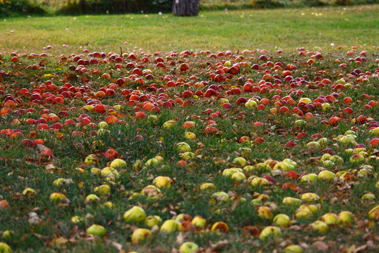 Apple Beautifully Organized Beauty In Nature Day Naturally Organized Nature No People Outdoors Red Yellow Delicious
