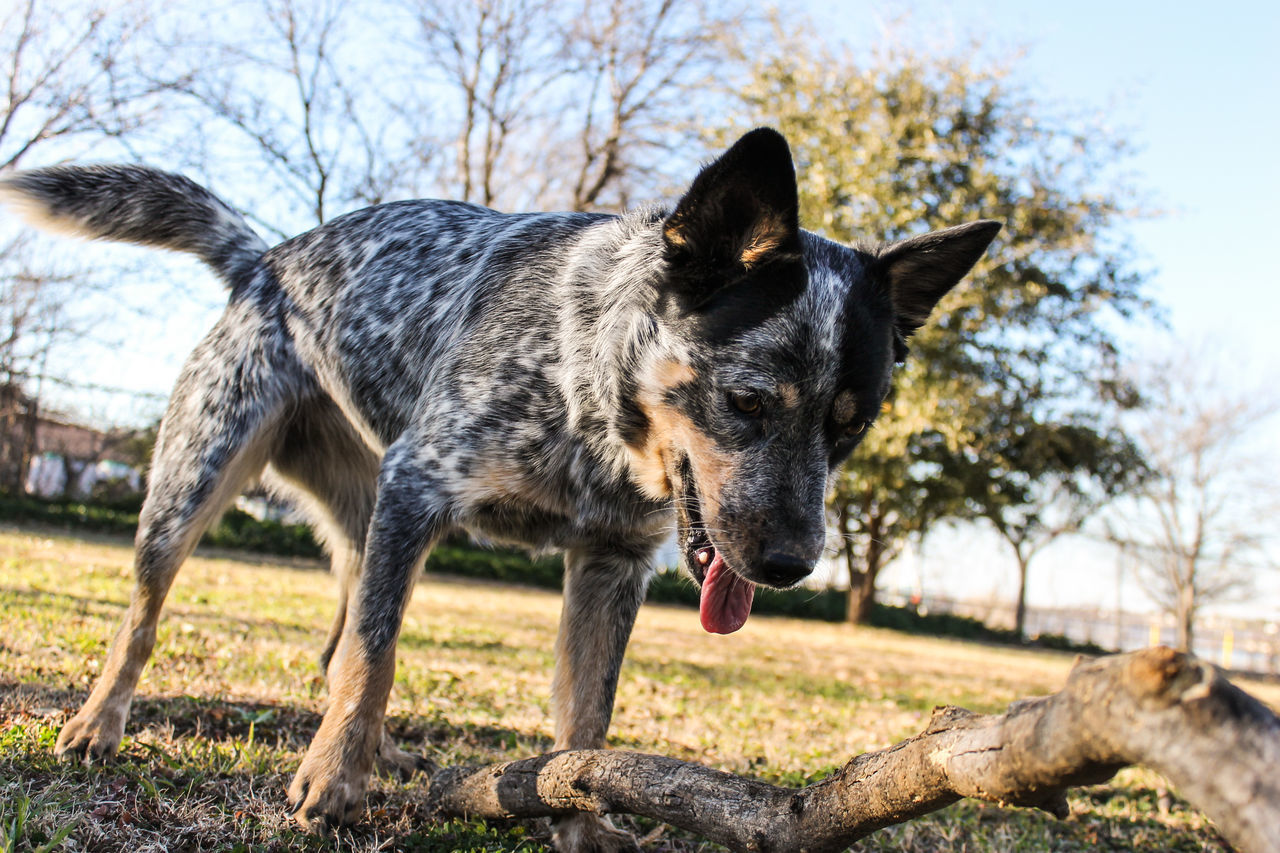 Blue HeelerCuriosity Dog Perspective Pets Relaxing Domestic Animals Curiousity Playful Here Belongs To Me At Home Our House