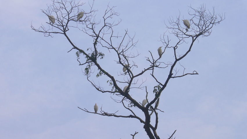 Perching Early Morning Bird Photography Cattle Egret Animal Themes Animals In The Wild Bare Tree Beauty In Nature Bird Birds Branch Day Low Angle View Nature No People Outdoors Perching Sky Tree