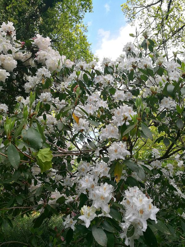 Rhododendron White Rhododendron White Blossoms White Blossoms On Tree White Blossoms Blue Sky White Blossom Nature Blossom Growth Tree Springtime Spring Spring Blossoms Outdoors Branch Smartphone Photography P9 Low Angle View Trees And Nature Flowers,Plants & Garden Garden Photography Garden Outdoor Photography Flowers Flowers, Nature And Beauty