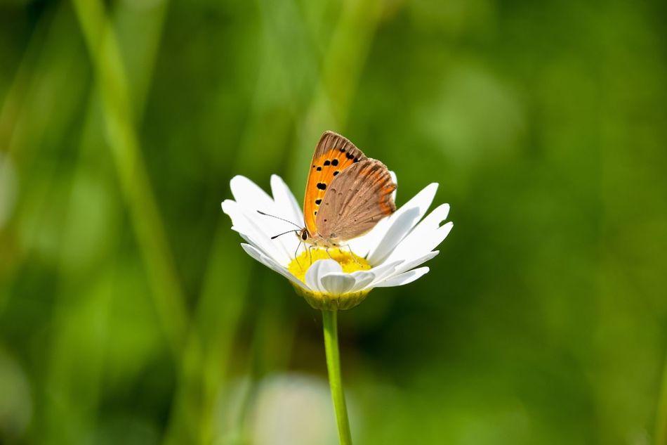 Nikon Nikonphotography Nikond7200 Nicola Nelli Nature Nature Photography Butterfly Naturelovers Nature_collection Flowers Flower Sticciano Sticciano Scalo Nofilter Maremma