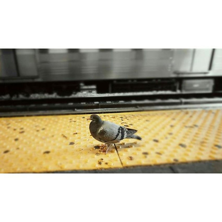 Bird Gang Nycprimeshot NYC Brooklyn Follow Flatbush Newkirk Loveyourcity Nyclife Photooftheday Photoart Pigeon Subway Natgeo Nature Streetart Originals QTrain
