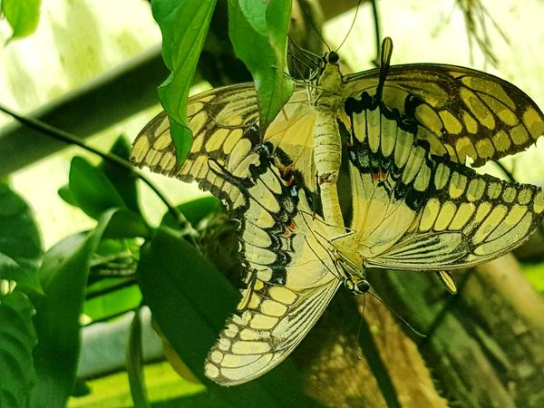 Und weil's so schön ist.... 😉 Mating Pair Of Insects Mating Butterflies Butterfly - Insect Insect Mating Season Animals In The Wild Animal Themes Animal Wildlife Focus On Foreground Close-up Leaf Nature Beauty In Nature The Great Outdoors - 2017 EyeEm Awards The Photojournalist - 2017 EyeEm Awards Frühlingsgefühle EyeEm Best Shots - Nature EyeEm Best Shots EyeEm Nature Lover EyeEmNewHere Eye4photography  From My Point Of View Today's Pic Check This Out Taking Photos Sommergefühle 100 Days Of Summer Pet Portraits Paint The Town Yellow Perspectives On Nature