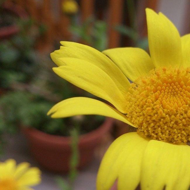 Half Flower Yellow Halfflower