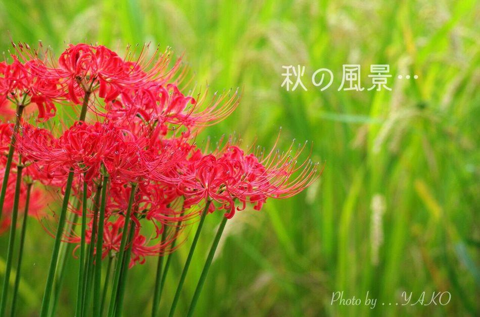 稲と彼岸花の…秋コラボ ٩(๑❛ᴗ❛๑)۶ 郷土の森森 曼珠沙華華 Autumn ColorssFlowerr