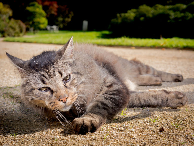 Animal Themes Cat Close-up Day Domestic Animals Domestic Cat Feline Looking At Camera Lying Down Mammal Nature No People One Animal Outdoors Pets Portrait Sad Stray Cat Whisker